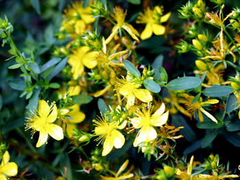 st john's wort at summer solstice