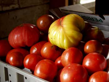 Ripe Tomatoes at Miller's Crossing Farm, Claverack, New York
