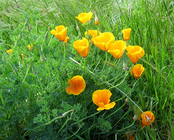 Yellow California Poppies, photo by Jane Sherry