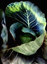Painted Cabbage photo by Jane Sherry