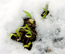 First Spring Shoots, photo by Jane Sherry