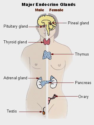 Illustration of human endocrine system. This work is in the public domain in the United States because it is a work prepared by an officer or employee of the United States Government