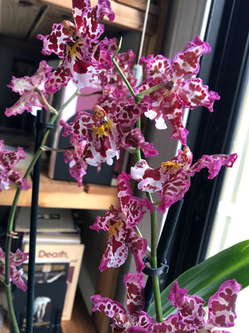 Speckled Orchid Boca