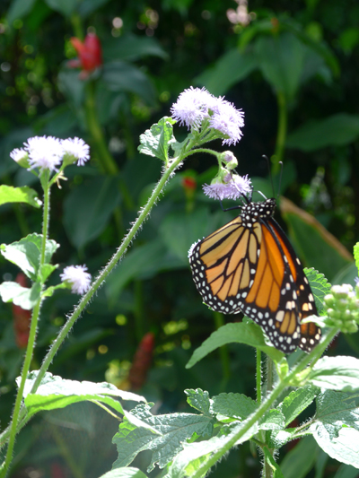 Monarch Butterfly on Purple Mist, Boca Gardens, by Jane Sherry