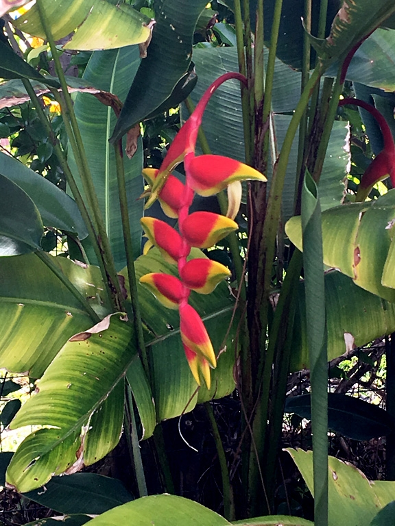Lobster Claw Heliconia Boca Raton 2018